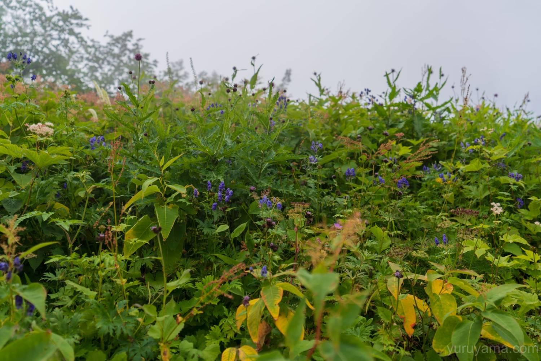 高山植物が咲いている画像