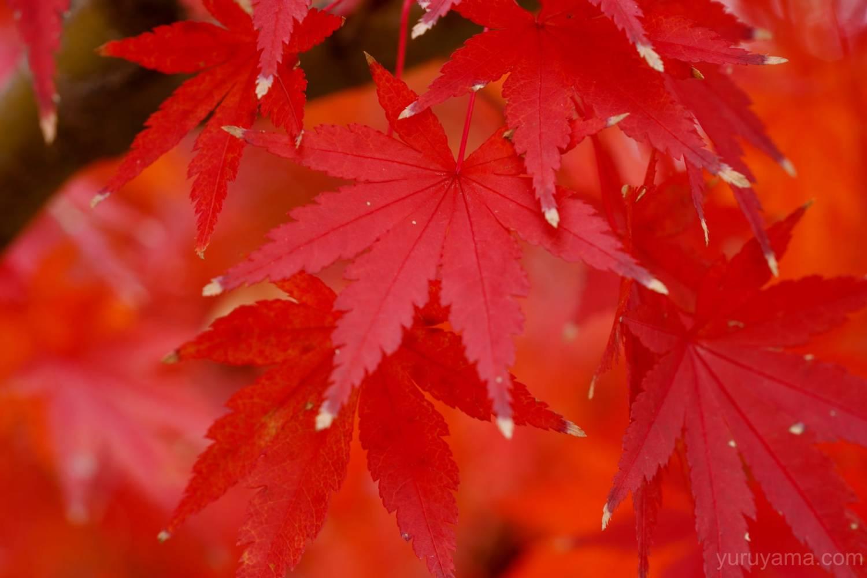 大阪城公園の紅葉8