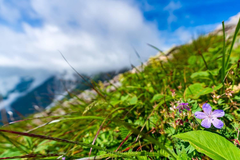 白馬岳と高山植物