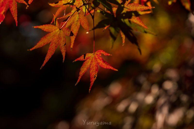 逆光に透ける紅葉