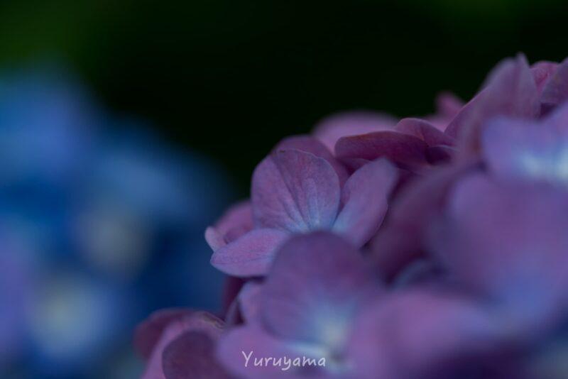 大阪城公園の紫陽花の画像2