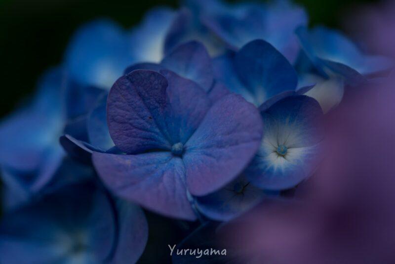 大阪城うつぎ園の紫陽花の画像