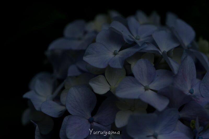 大阪城の紫陽花の画像