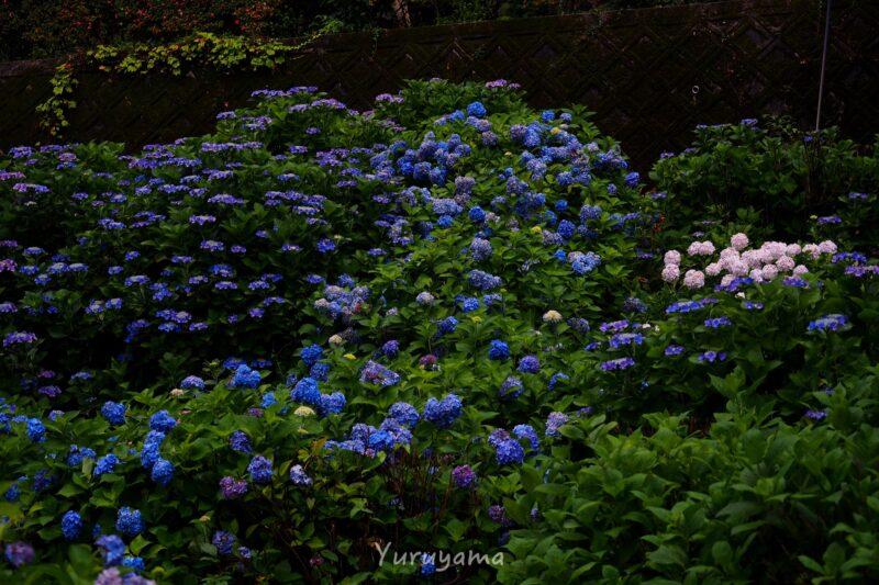 紫陽花が広がる三室戸寺の画像