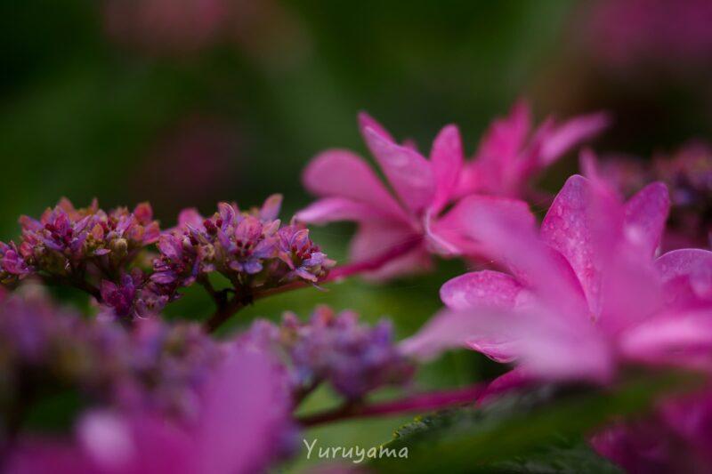 三室戸寺の紫陽花の画像2