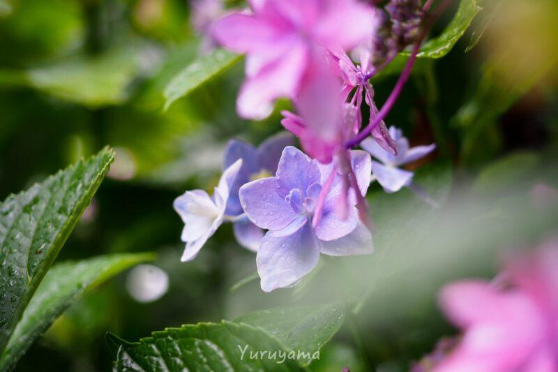 雨に濡れた三室戸寺の紫陽花の画像