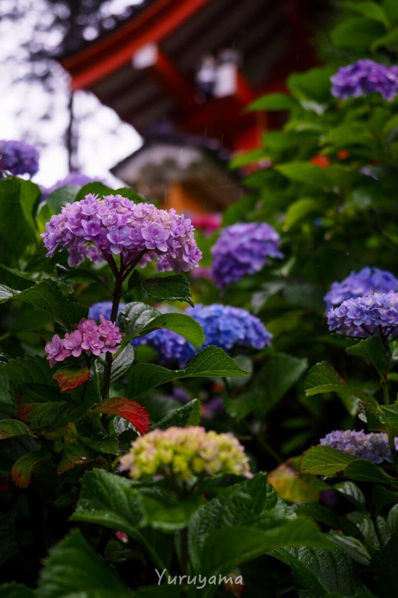 三室戸寺の紫陽花3
