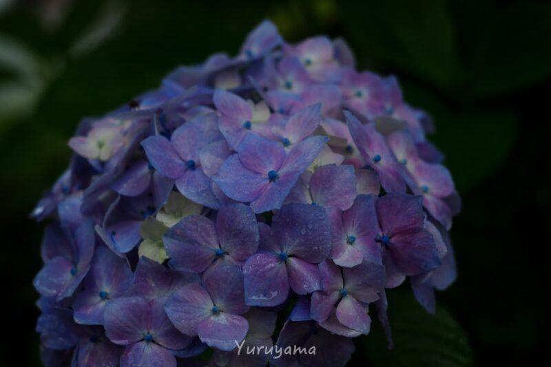 紫色の紫陽花