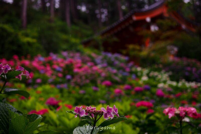 三室戸寺の紫陽花1