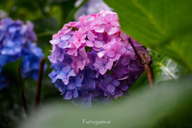三室戸寺のグラデーションがきれいな紫陽花