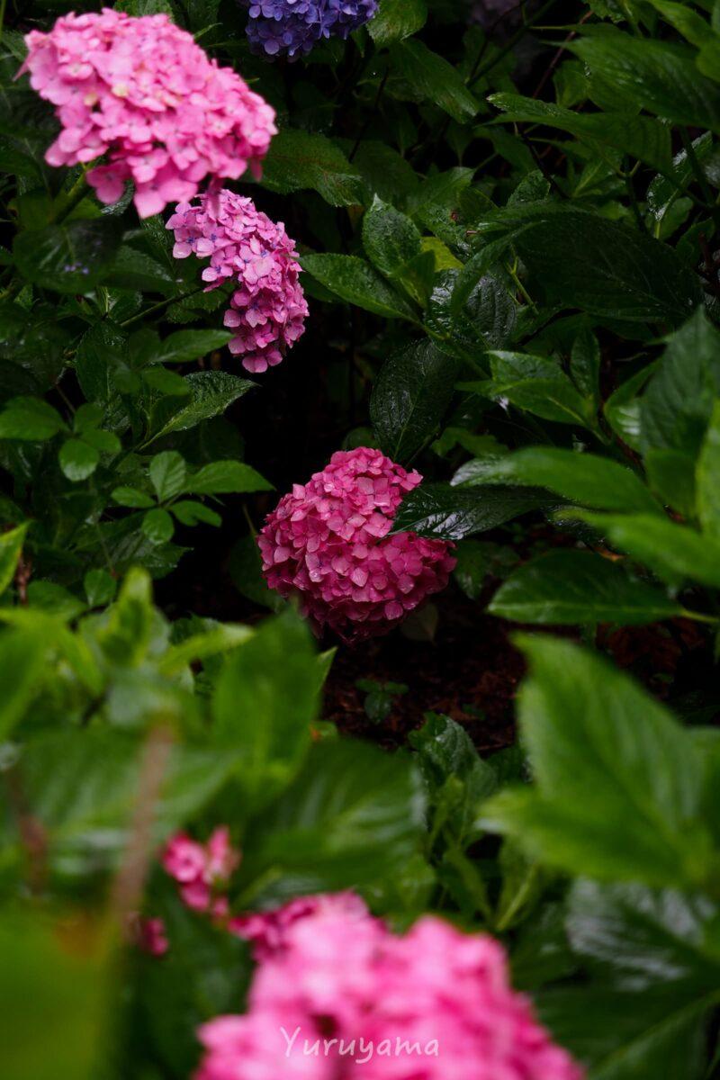 三室戸寺の紫陽花4