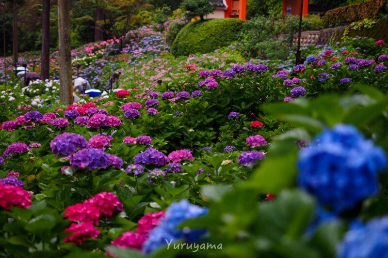 三室戸寺の紫陽花6