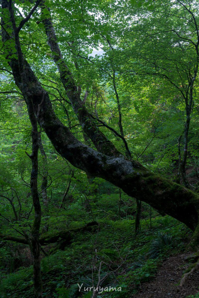 瓶ヶ森登山道の広葉樹