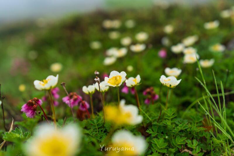 白山は高山植物の宝庫