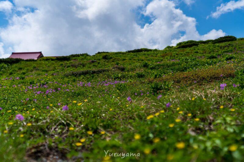 白山の高山植物