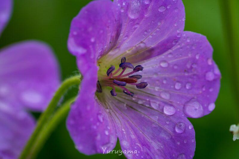雨に濡れた白山のハクサンフウロ